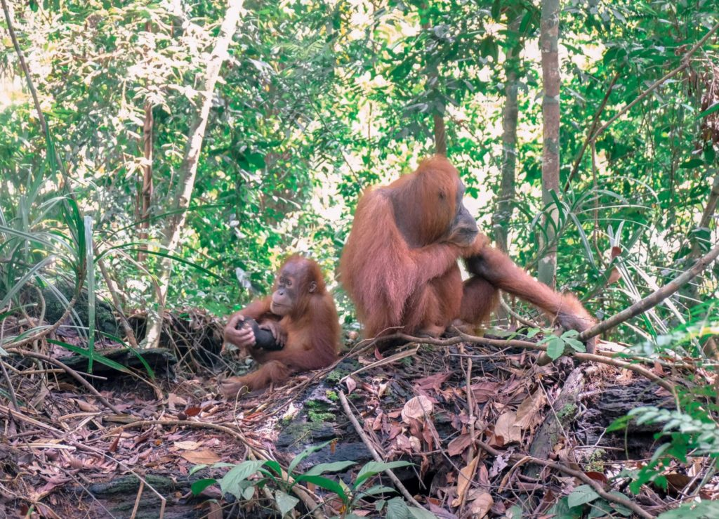 Orangutans in Sumatra Indonesia: Guide To Seeing Endangered Orangutans in the wild